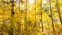Golden Aspen leaves on a fall Sierra day.