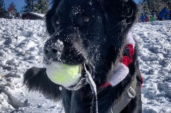 nala the patrol dog holding a ball in her mouth in the snow