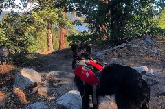 nala the patrol dog staring out into the big bear lake from the mountain
